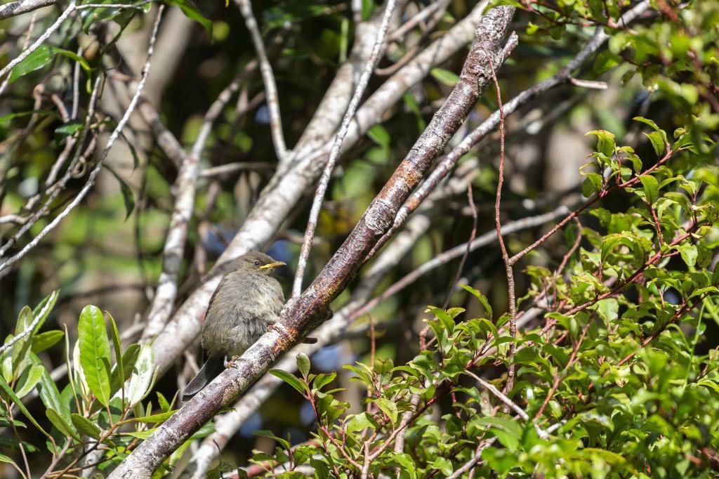 Friends of Tawa Bush landing page, junior bellbird on a branch