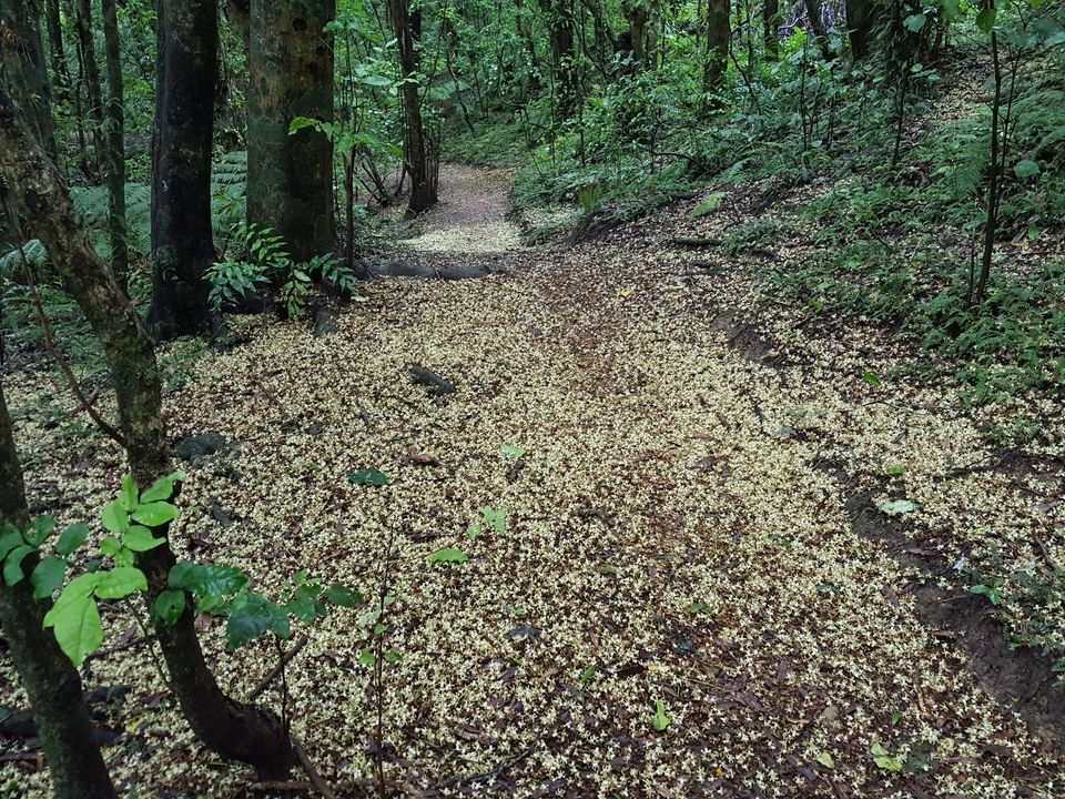 Kohekohe flowering and carpeting bush floor