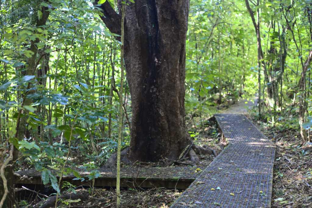 Mataī, black pine - Prumnopitys taxifolia Larsen Cres Reserve