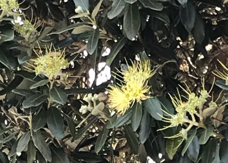 Yellow pohutukawa flower Wilf Mexted Reserve