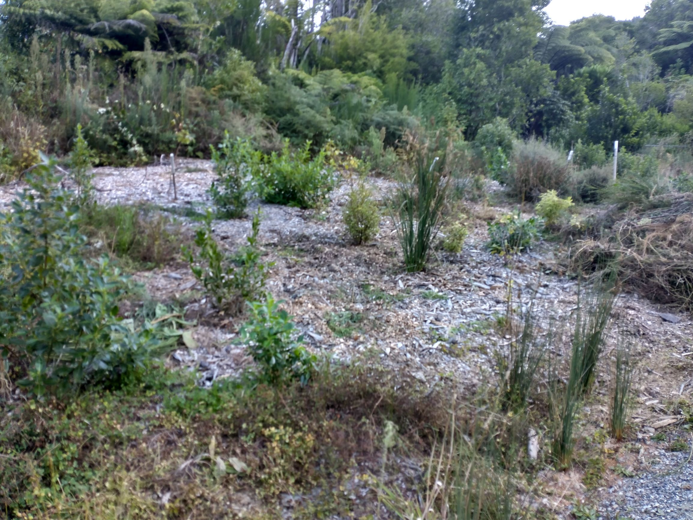 Forest of Tawa new plantings March 2021