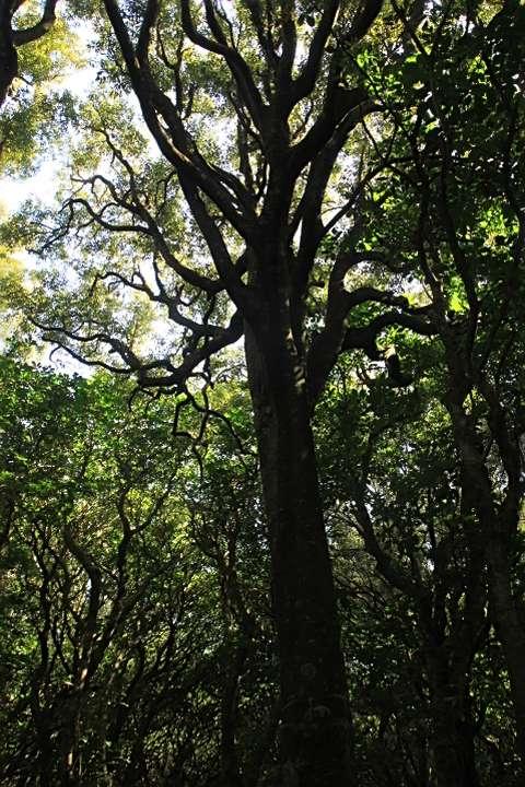Wilf Mexted Reserve Tawa tree