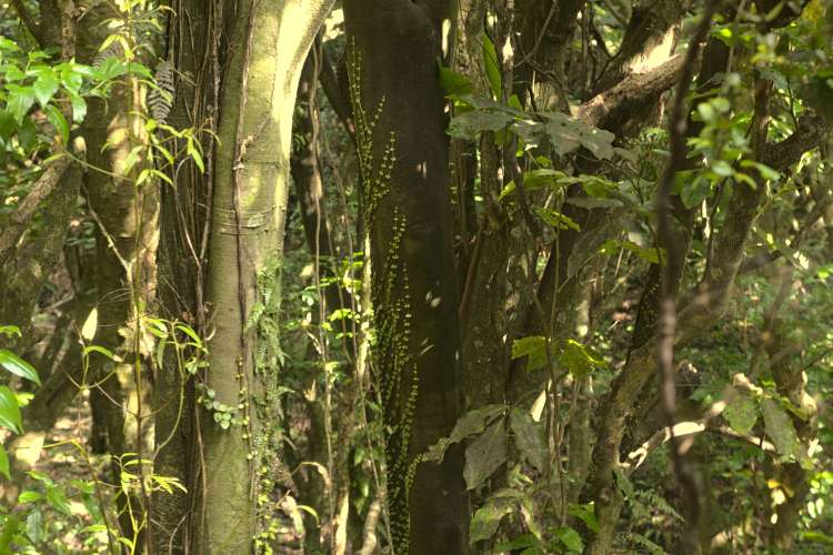 In Wilf Mexted Reserve a photo of a young rātā vine climbing up a tree