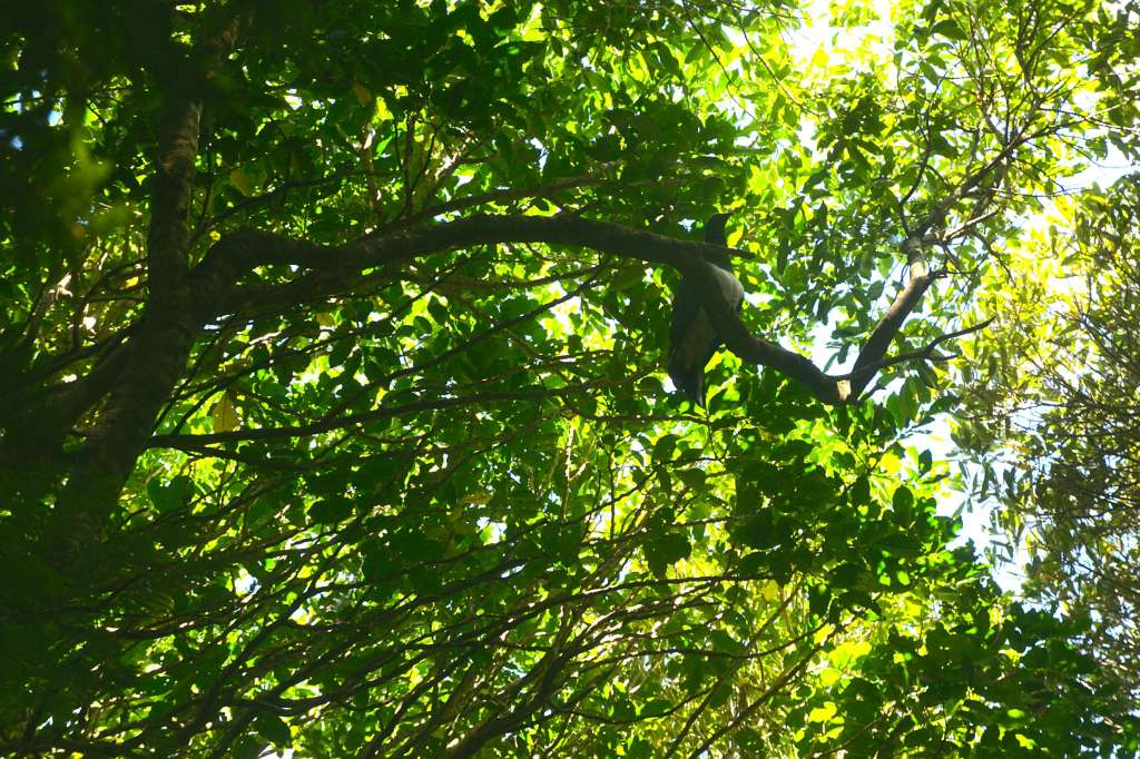 Kereru NZ native woodpigeon on lookout from high up in a tree at Wilf Mexted reserve