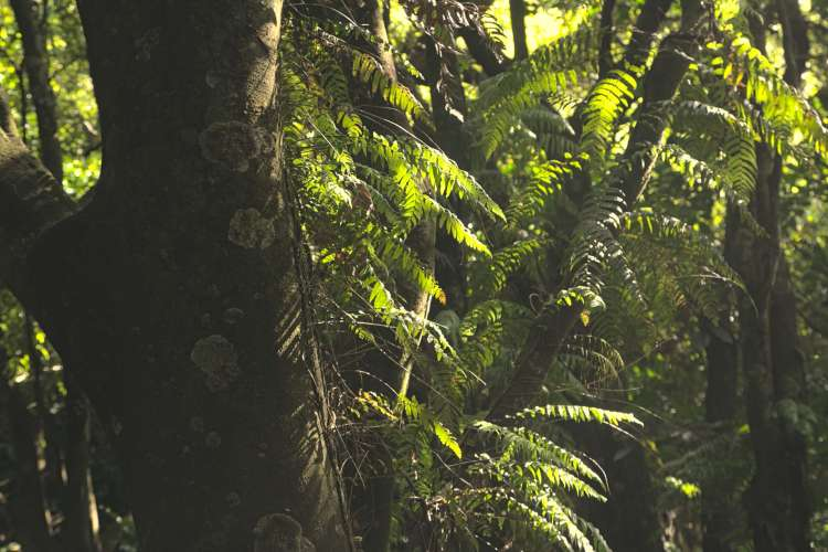 Wilf Mexted Reserve Thread fern pānako growing up a tree