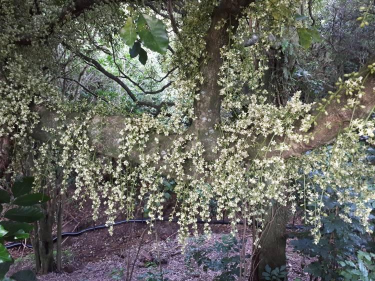 Kohekohe flowers in Wilf Mexted Reserve, waxy creamy flower