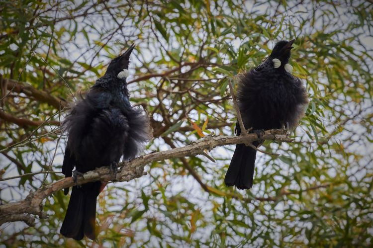 Two tūī's singing