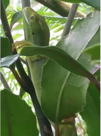 barking gecko | Friends of Tawa Bush Reserves