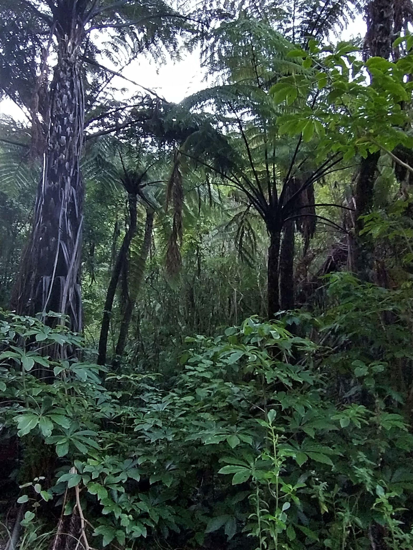 Forest of Tawa Ferns black mamaku