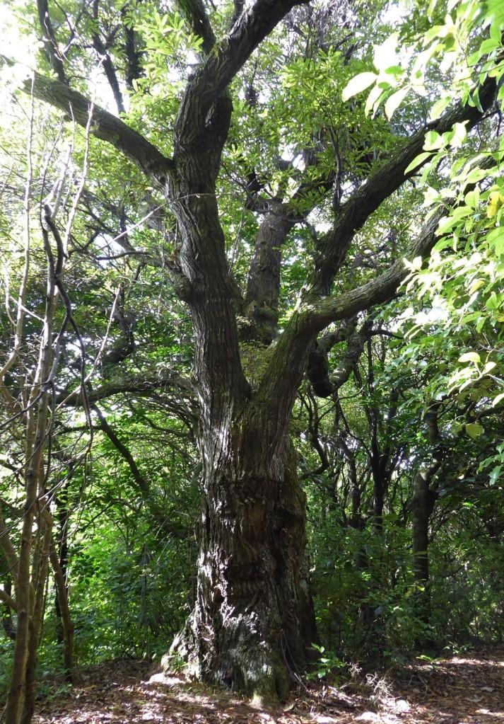 Hinau Elaeocarpus dentatus