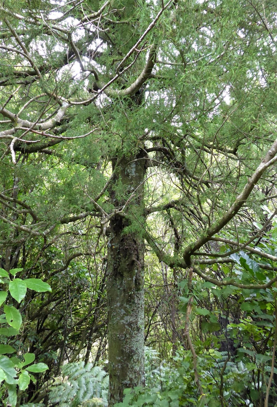 Kahikatea -Dacrycarpus dacridioides