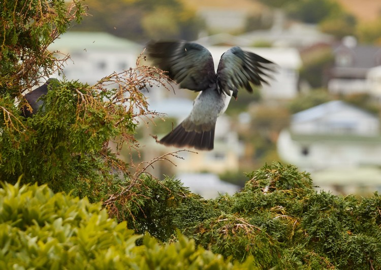 Kereru in flight over Tawa | Friends of Tawa Bush