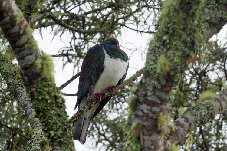 kereru, NZ Native woodpigeon sitting in a tree - large bird!