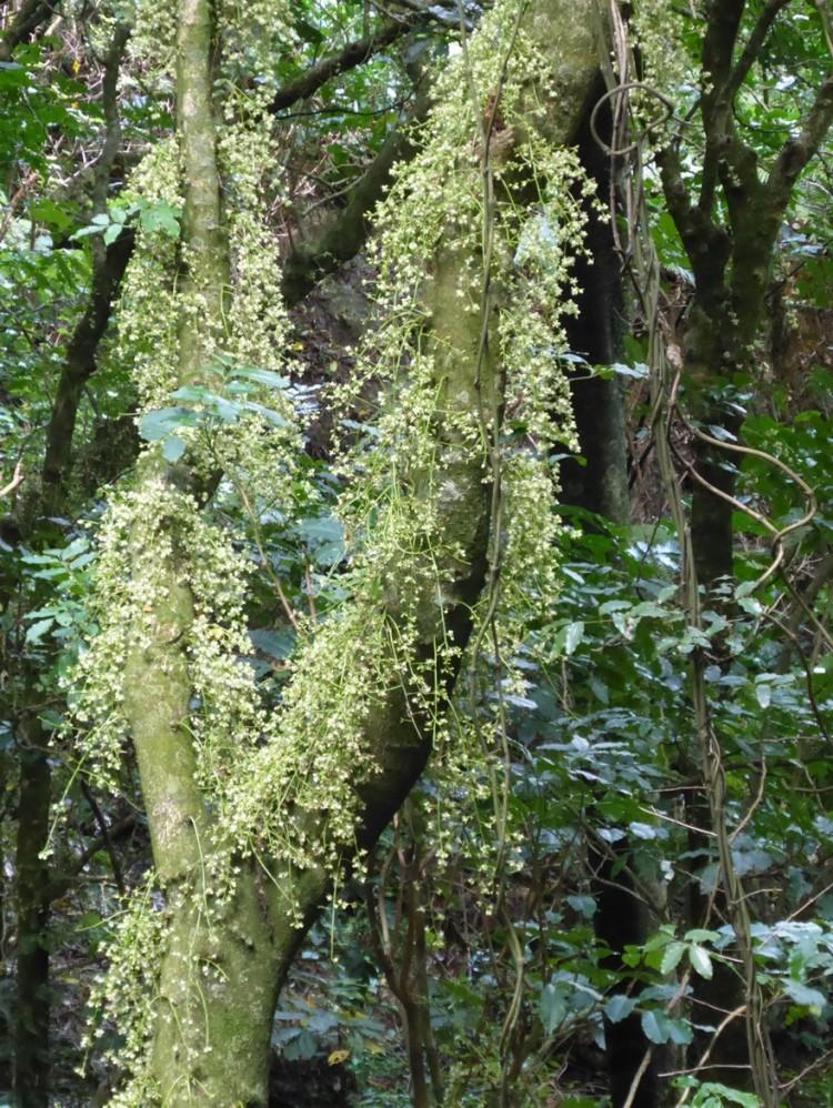 Kohekohe flowering