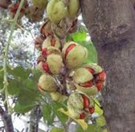 Kohekohe fruit with seeds, growing directly off the trunk | Friends of Tawa Bush Reserves