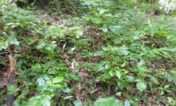 Kohekohe seedlings Redwood bush | Friends of Tawa Bush Reserves