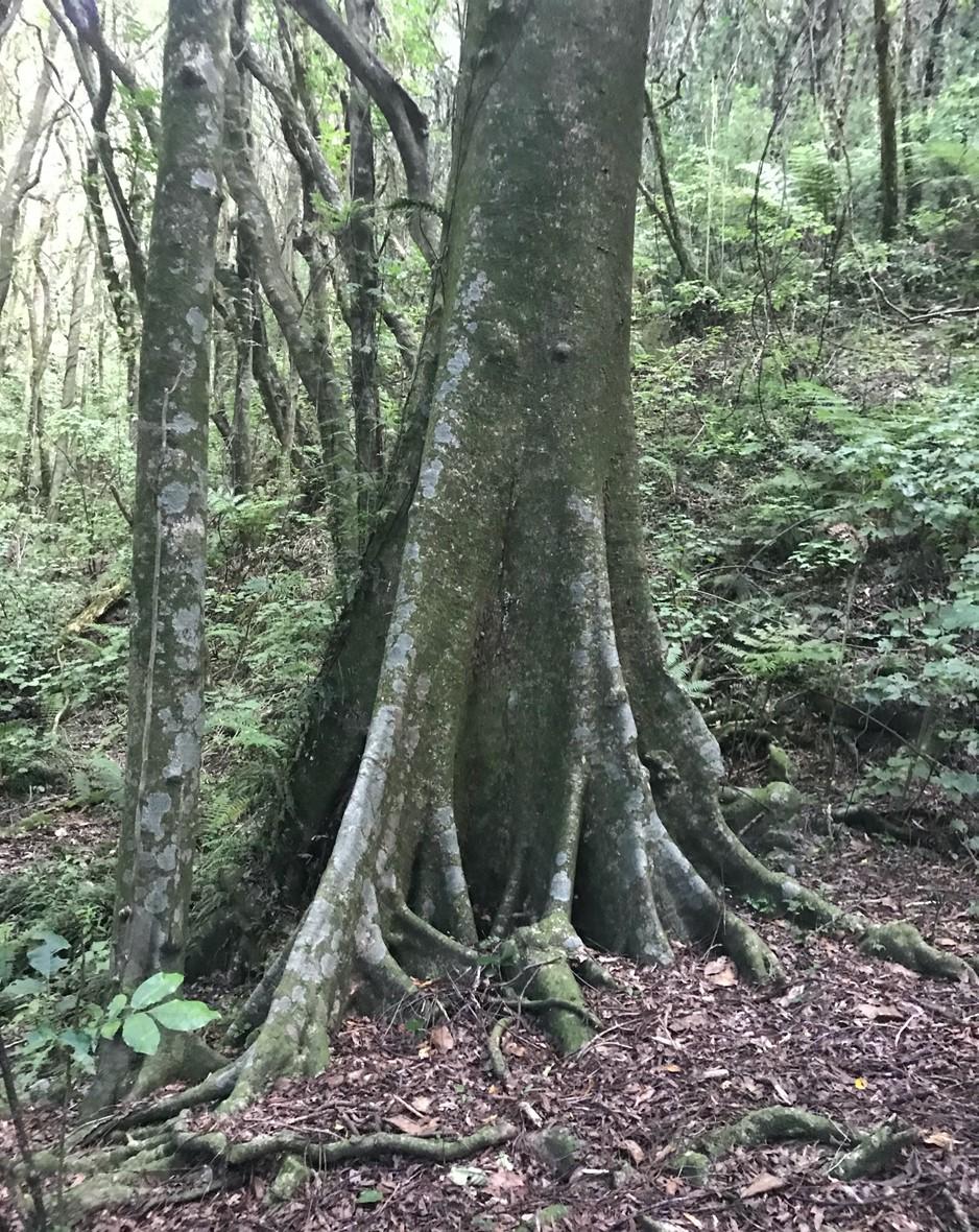 Pukatea, Laurelia novae-zelandiae buttress roots | Friends of Tawa Bush Reserves
