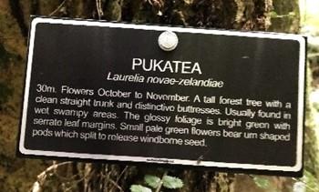 pukatea-sign to idenitfy the tree in Redwood bush | Friends of Tawa Bush Reserves