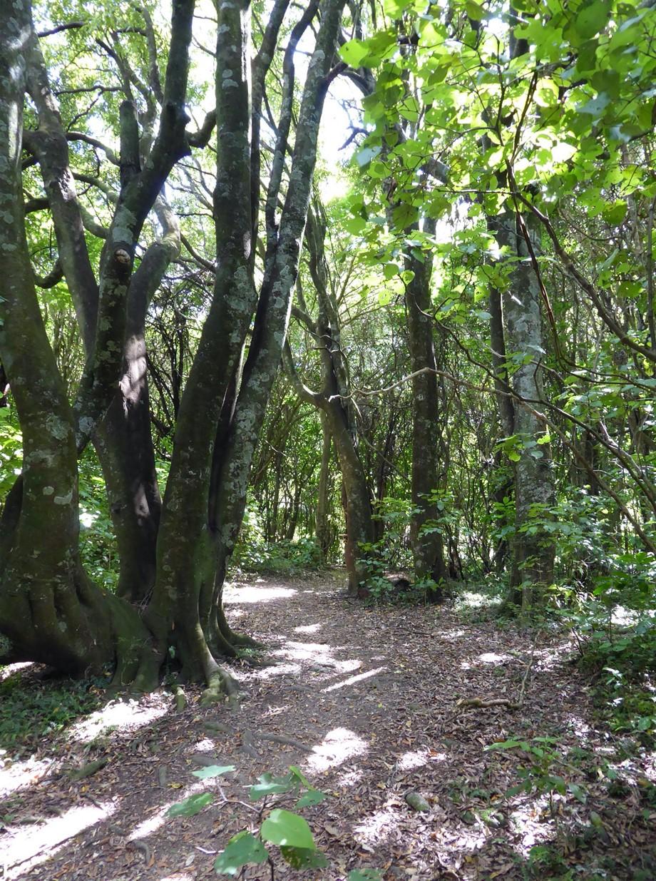 Tawa tree in Redwood Bush | Friends of Tawa Bush Reserves