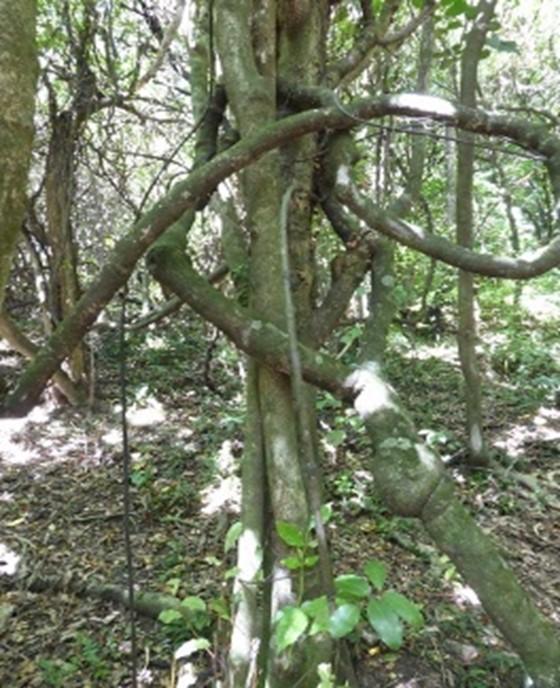 NZ Passionvine - kōhia in Redwood bush | Friends of Tawa Bush Reserves