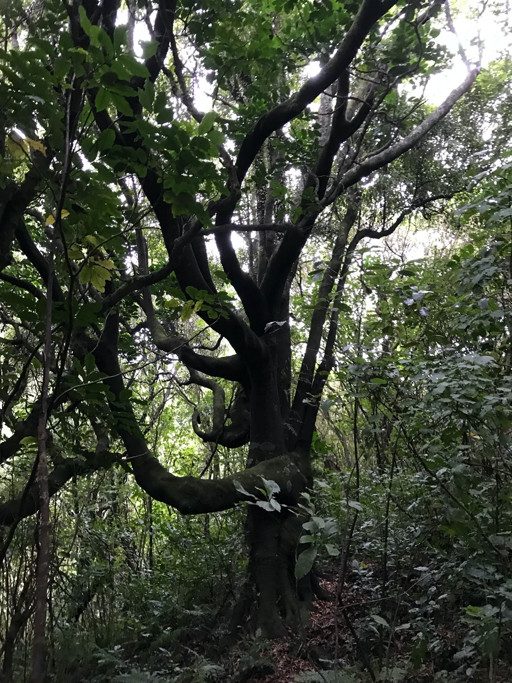 St Anne's Reserve Tawa tree