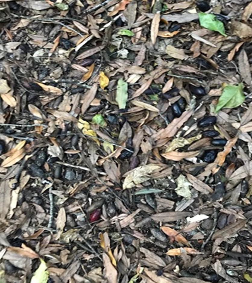 Tawa fruit amongst the leaf litter on the ground.  Friends of Tawa Bush Reserve