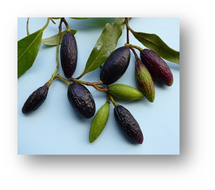 Image of Tawa seeds / fruit | Friends of Tawa Bush Reserve