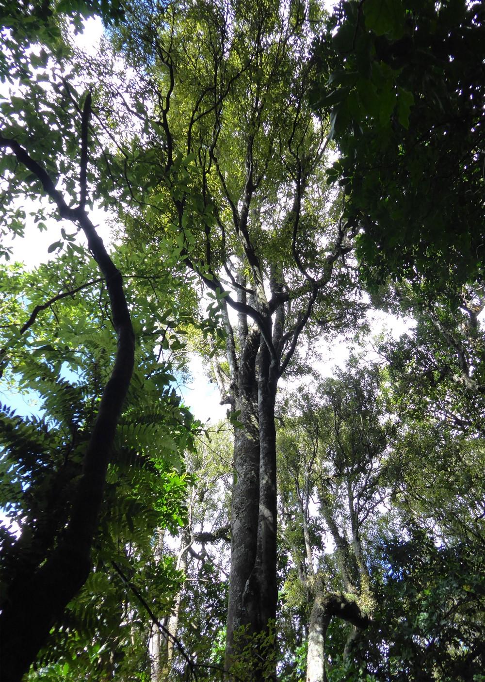 Tawa Trees in Redwood bush | Friends of Tawa Bush Reserves