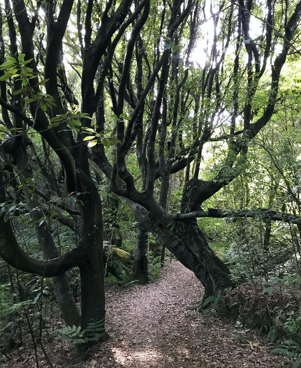 Woodburn Reserve Tawa trees