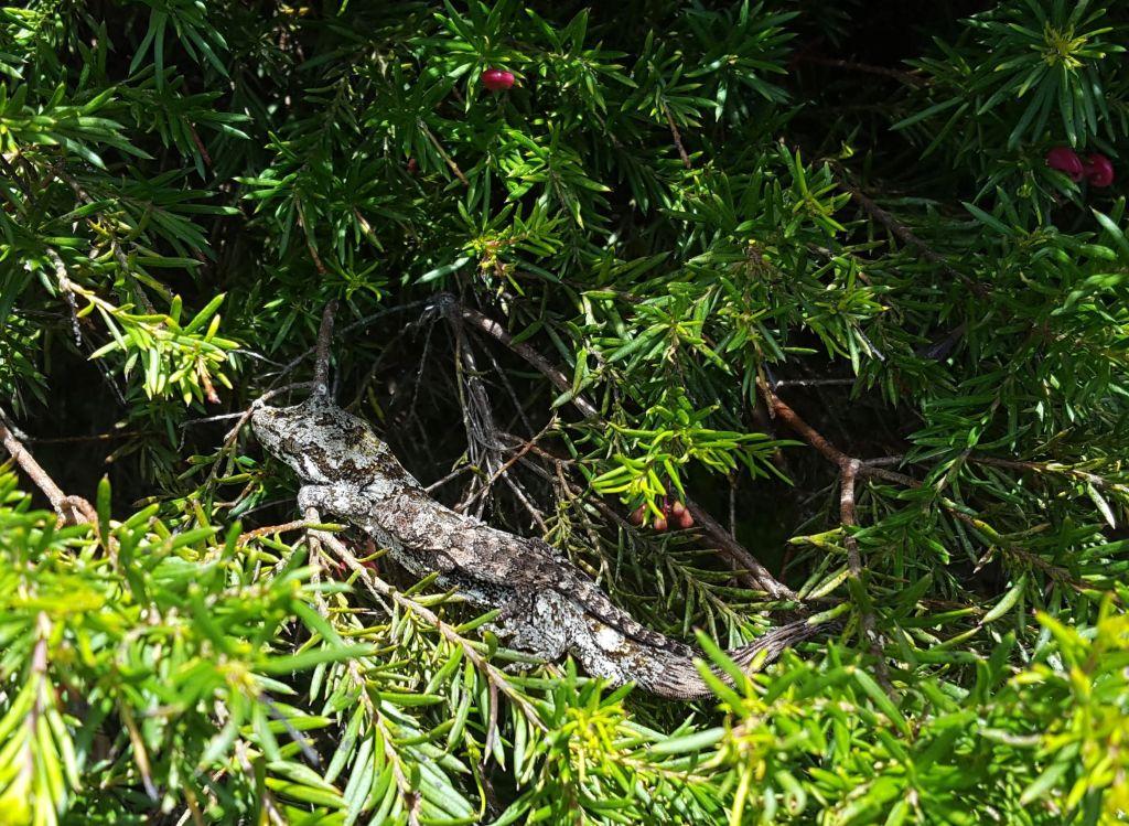 gecko and juvenile October 2020 Helen Challands Friends of Tawa Bush Reserves