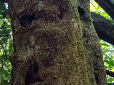 Ngahere Gecko on a tree January 2018