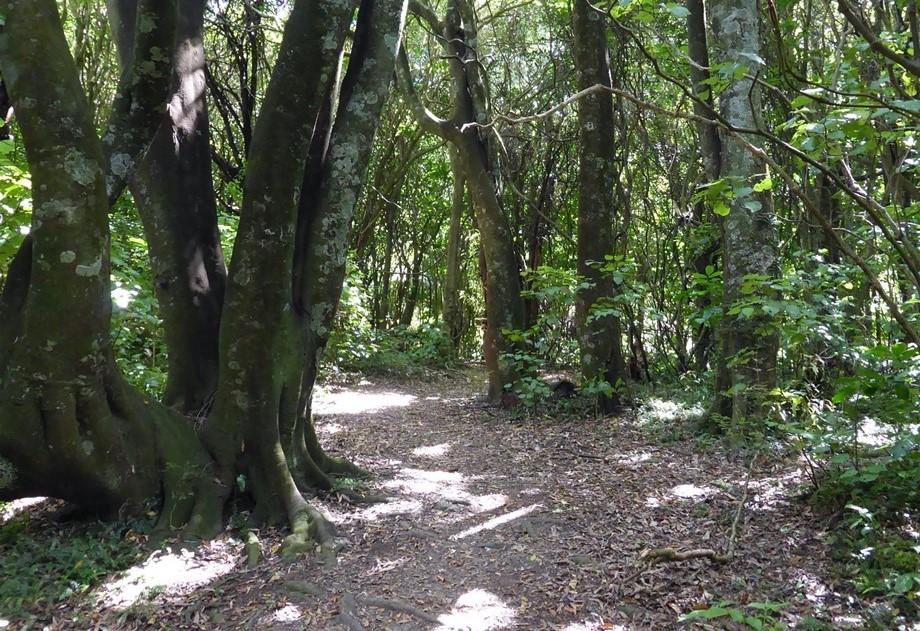 Redwood bush track