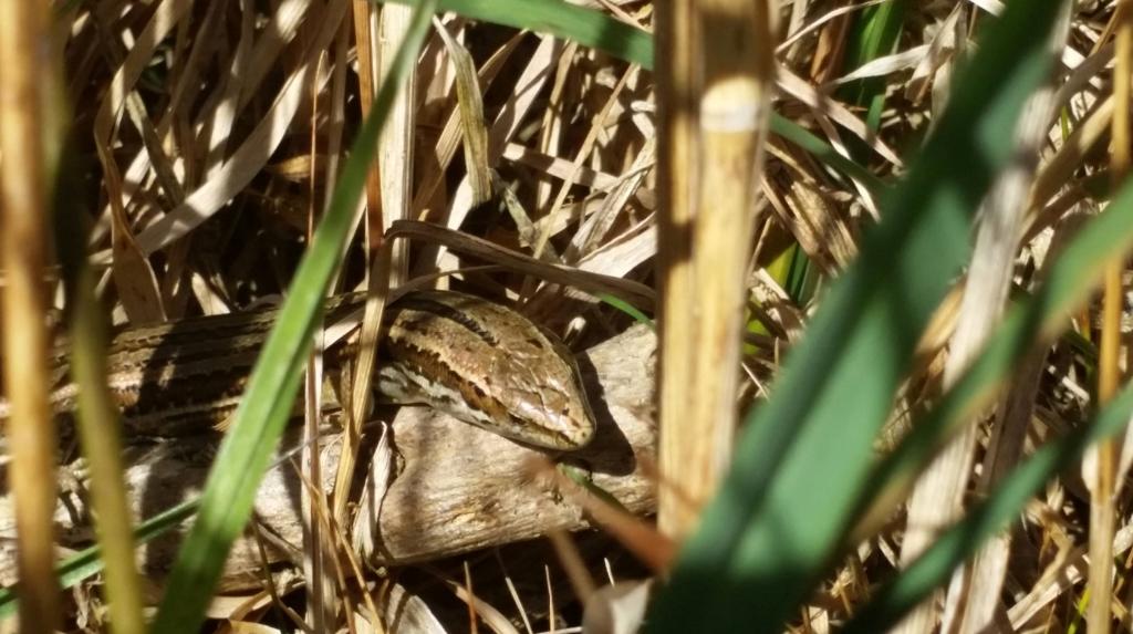 Oligosoma polychroma skink seen in Tawa | Friends of Tawa Bush Reserves