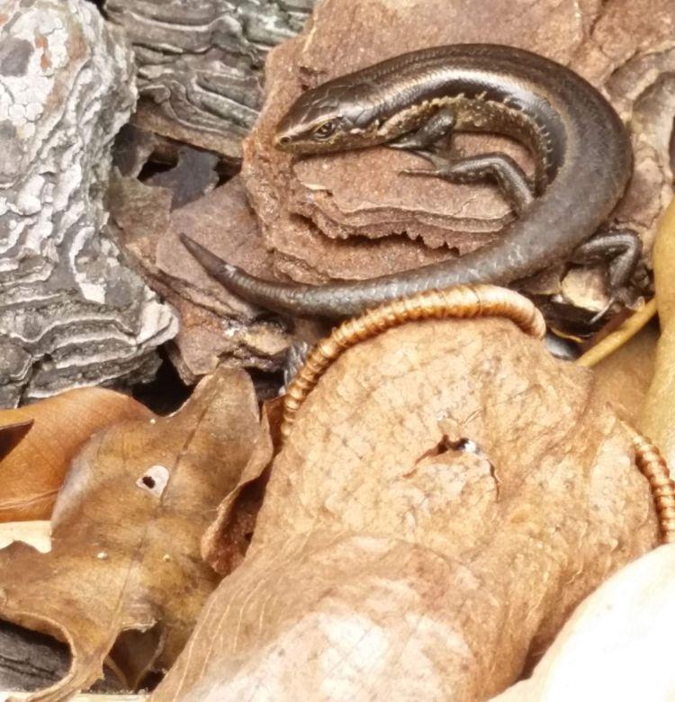 Oligosoma polychroma skink on leaves seen in Tawa   Friends of Tawa Bush Reserves