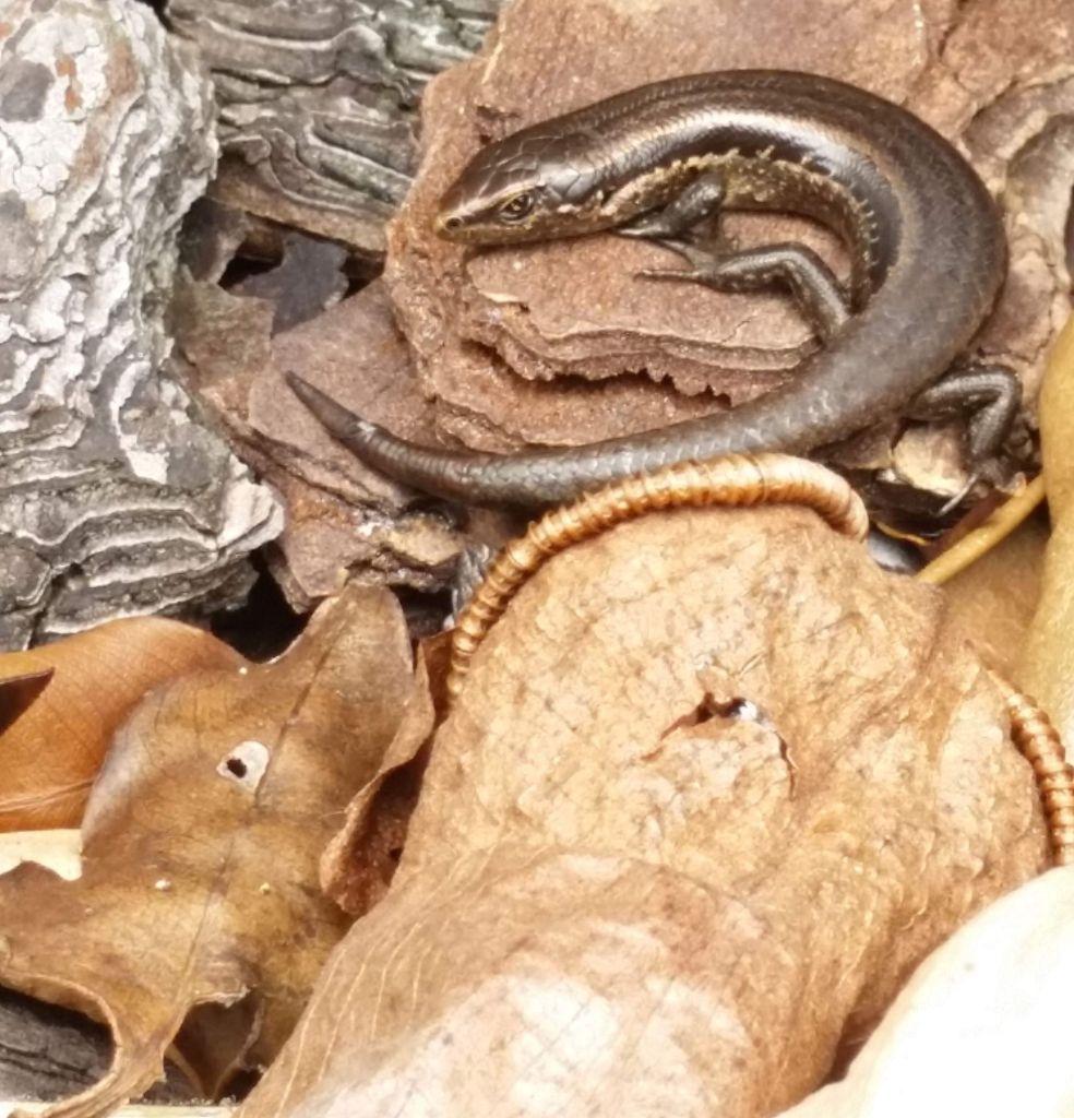 Oligosoma polychroma skink on leaves seen in Tawa | Friends of Tawa Bush Reserves