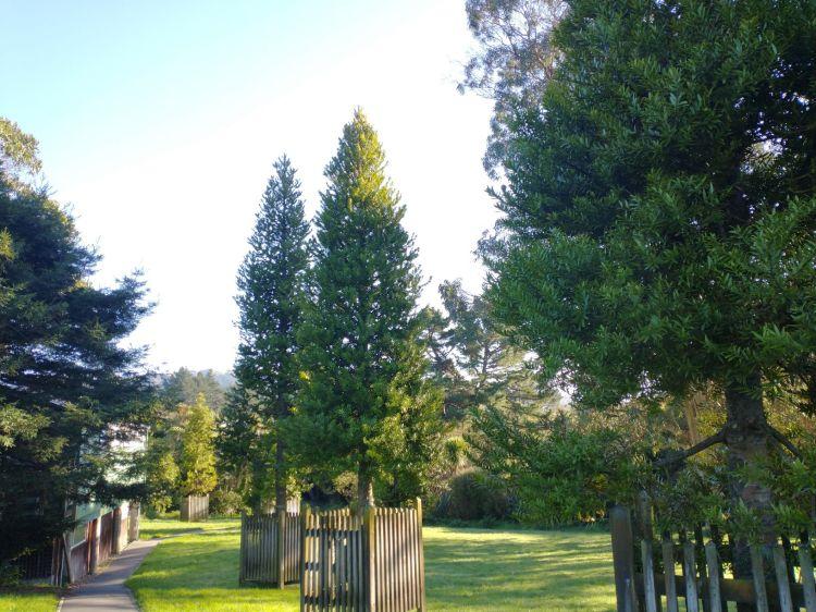 Willowbank Reserve Kauri May 2021