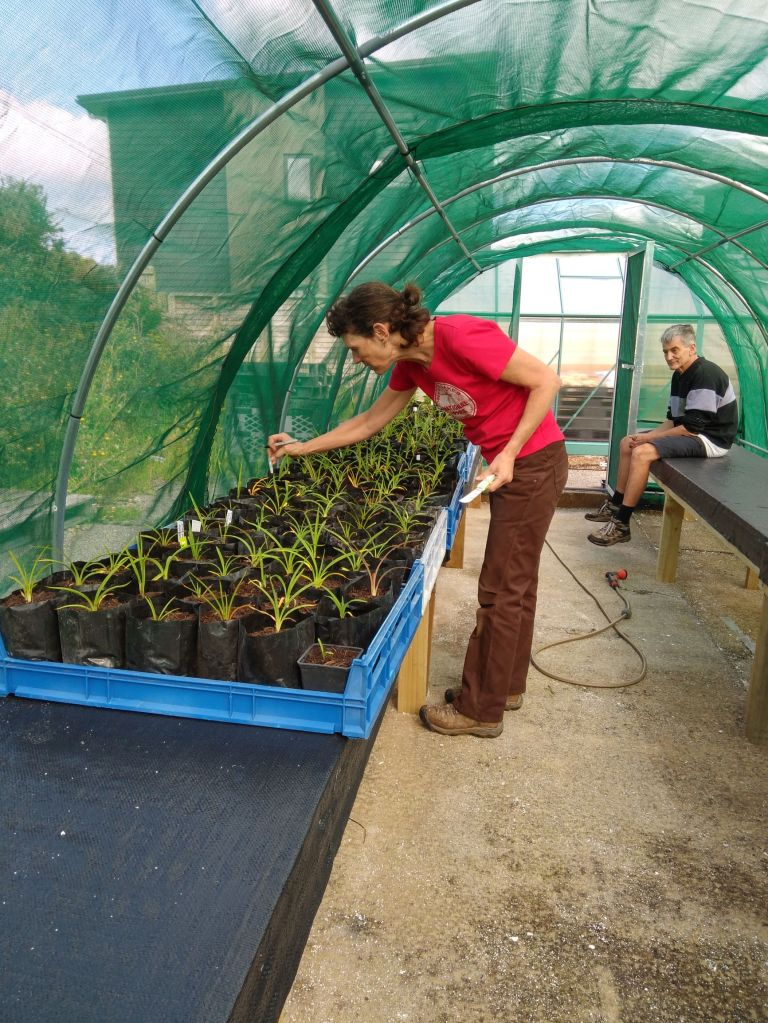 Joanne tending newly potted up flaxes May 2021