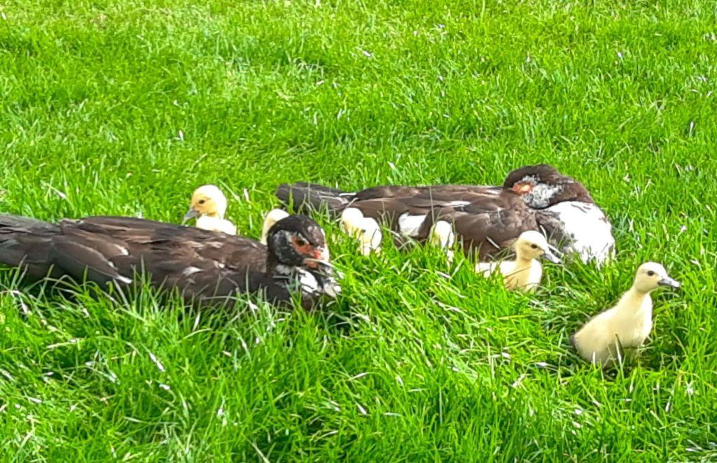 Muscovy ducklings at Lyndhurst Park