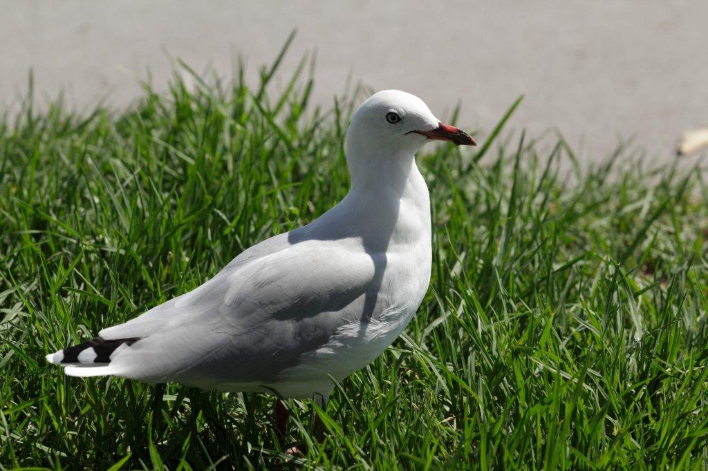 Red-billed gull.