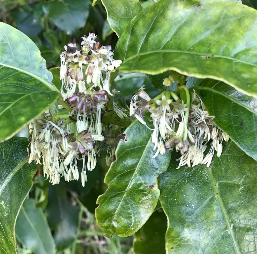 Kanono male flowers