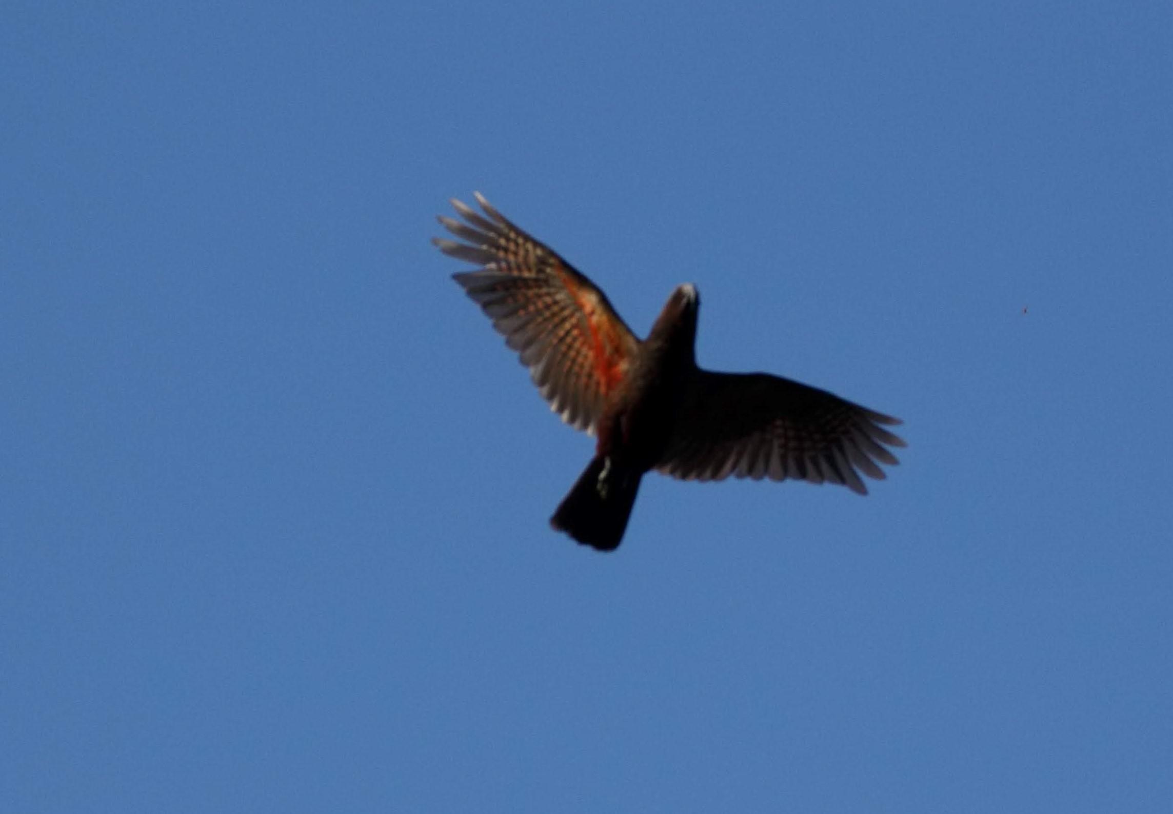 kaka in flight
