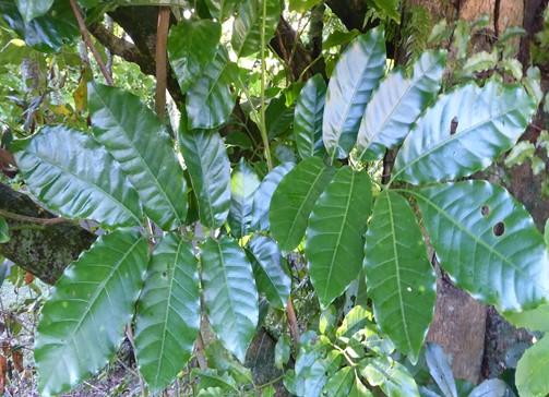 Kohekohe leaves