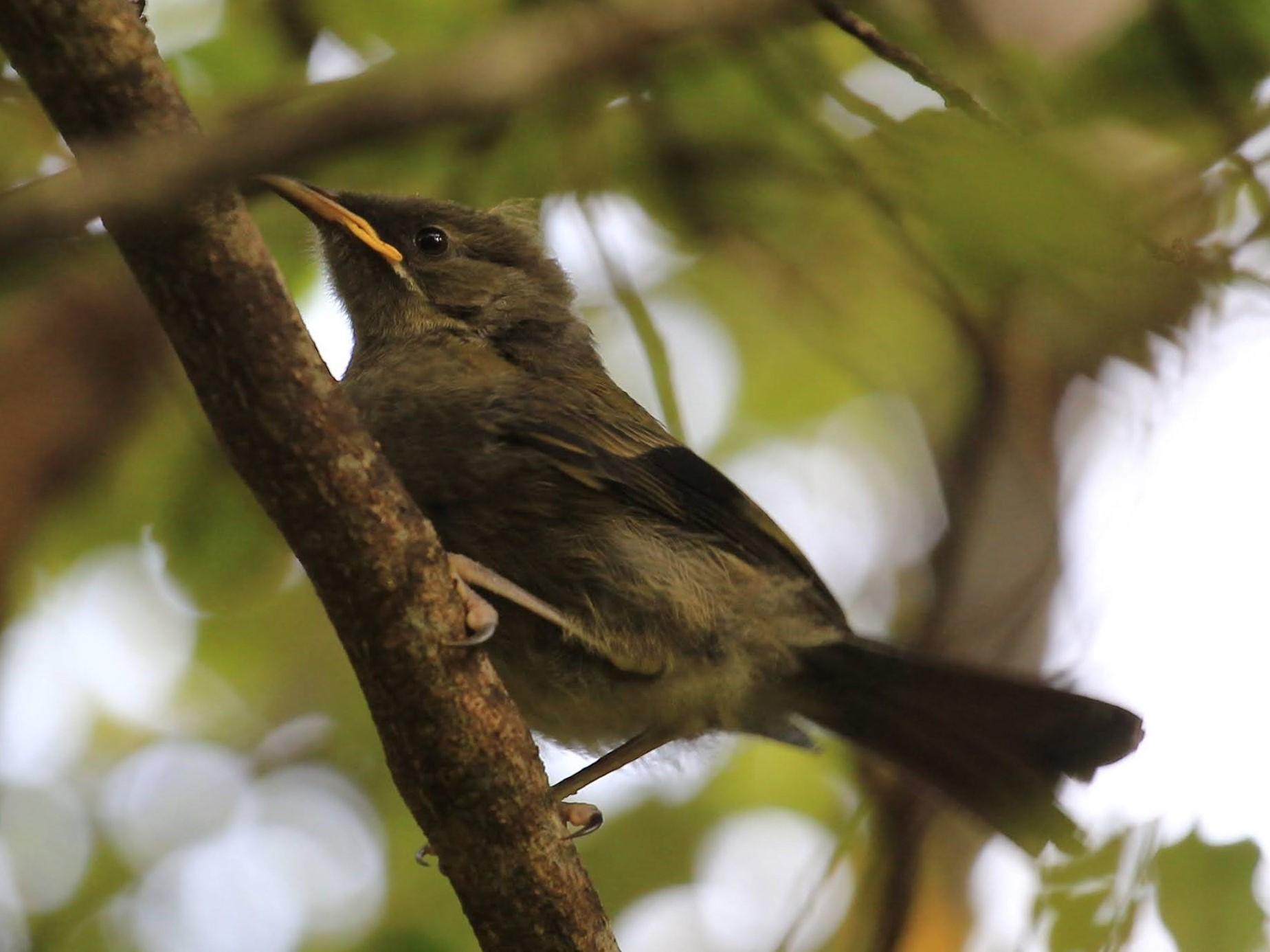 bell bird juvenile - korimako