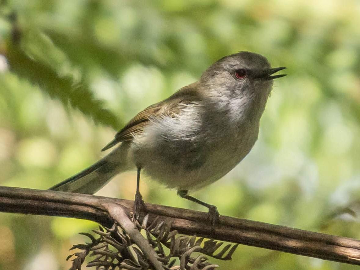 grey warbler - riroriro