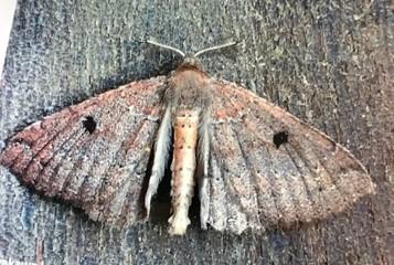 Kawakawa moth Cleora scriptaria